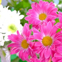 Хризантемы прекрасны :: Елена Фалилеева-Диомидова