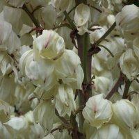 Цветы юкки :: Natalia Harries