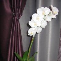Орхидея домашняя :: Владимир