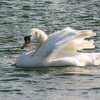 Лебедь -- птица гордая :: Александр Бурилов