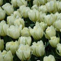 Белые тюльпаны :: Наталья (Nattina) ...