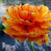 цветы весны :: Александр Прокудин