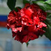 Гибискус «Гамбург» Китайская роза. :: Артём Шкляр