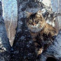 березовый кот Филюша) :: Анна