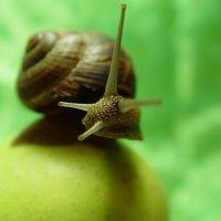 Улитка на яблоке :: Марина Мудрова