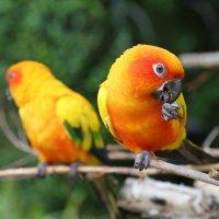 Тайские попугаи :: Ирина Бруй