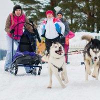 Сибирские хаски , собаки Дальнего Востока :: Андрей Куприянов