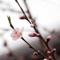 первый цветок персика... :: Ольга Маркарова