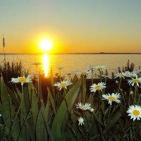 Ромашковый закат :: Елена Майорова