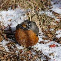 Если птица робин запела свою веселую песенку, значит - зиме конец! :: Юрий Поляков