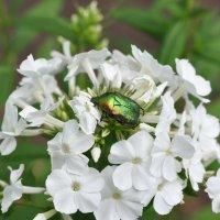 Майский жук на цветке :: Сергей Тагиров