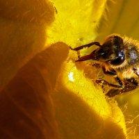 Пчела собирающая нектар. :: Валерий Изотов