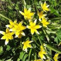 Тюльпан лесной «желторотик» :: Елена Смолова