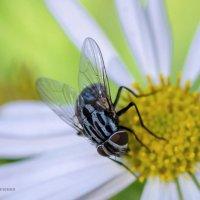 Медоносная муха :: Сергей Казаченко