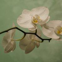 Белой орхидеи нежные цветы :: Марина Мудрова