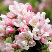 Яблоня цветёт. :: Нина