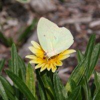Австралийская бабочка.Брисбен.Не знаю названия :: Антонина