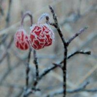 зимняя ягода :: Анна