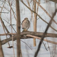 Искала сову, нашла ястреба. :: Елена Шел