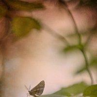 пьяная бабочка :: Алексей Карташев