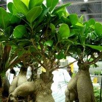 Вот такое растение Пахиподиум :: Вера Щукина