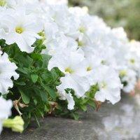 Клумба с белыми цветами :: Сергей Тагиров