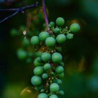 Виноград :: Юлия Фотограф