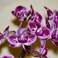 Орхидея :: Sergey (Apg)