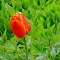 Тюльпан! - даёт салют весне ! :: Нина северянка