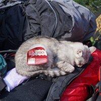тур. кошка :: Наталья Зимирева