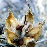 Цветок гибискуса (после зимы) :: Асылбек Айманов