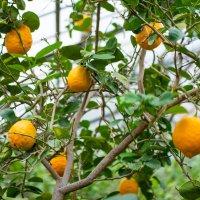 Лимон привлекательной жёлтой расцветки на дереве жил, зацепившись за ветки :: Виктор Куприянов