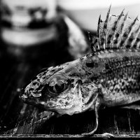 Чудо Юдо рыба Ёрш :: Андрей Соловьёв
