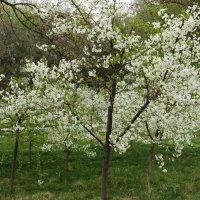 Вишневый сад :: Светлана