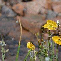 горные цветы как есть :: Горный турист Иван Иванов