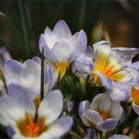 Репетиция весны :: Эльмира Суворова