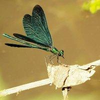 Мир насекомых :: Swetlana V