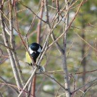 Птицы в сосновом бору :: Люба Битюгина