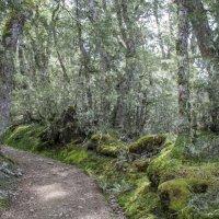 Вечнозеленый лес Новой Зеландии :: Irina Shtukmaster
