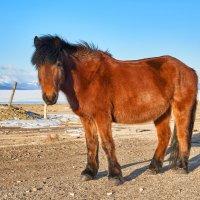 Монгольский буланый конь :: Виктор Никитин