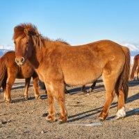 Монгольская лошадь :: Виктор Никитин
