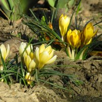 Крокусы цветут. :: Svetlana Baglai