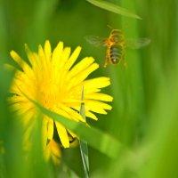 Эти удивительные пчёлы... :: Mari Kush