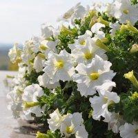 Белые цветы в солнечном свете :: Сергей Тагиров