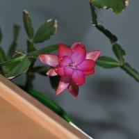 Розовый цветок :: Сергей Тагиров