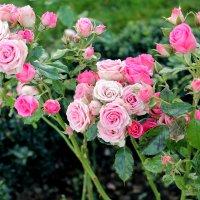 кустовые розы :: elena manas