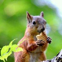 Белка ест печенюшку :: Сергей