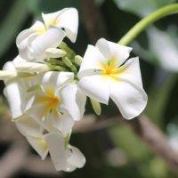 цветы Индии- Франгепани :: maikl falkon