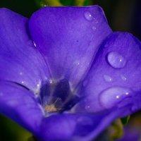 Барвинок после дождя :: Ксения смирнова