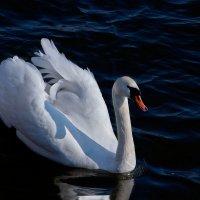 лебедь белый :: Galina Egorova